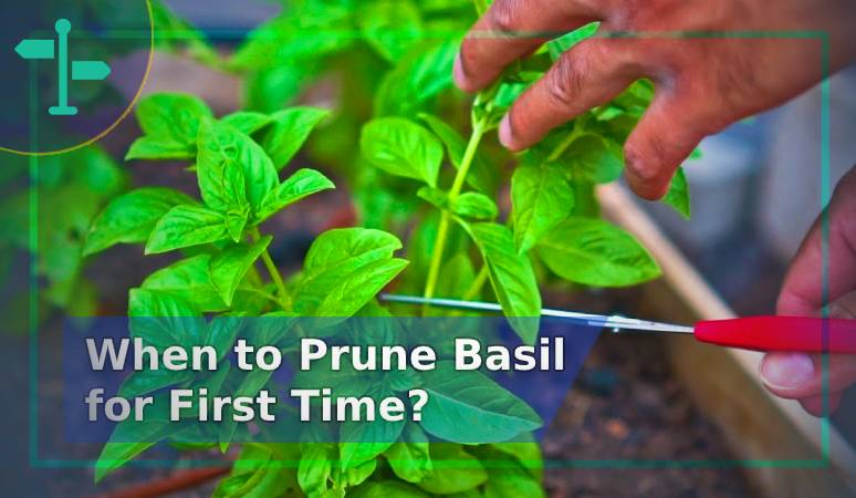 When to Prune Basil for First Time