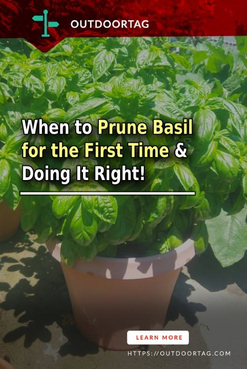 When to Prune Basil for the First Time & Doing It Right