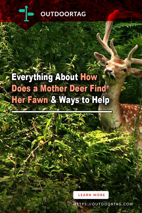 Everything About How Does a Mother Deer Find Her Fawn & Ways to Help