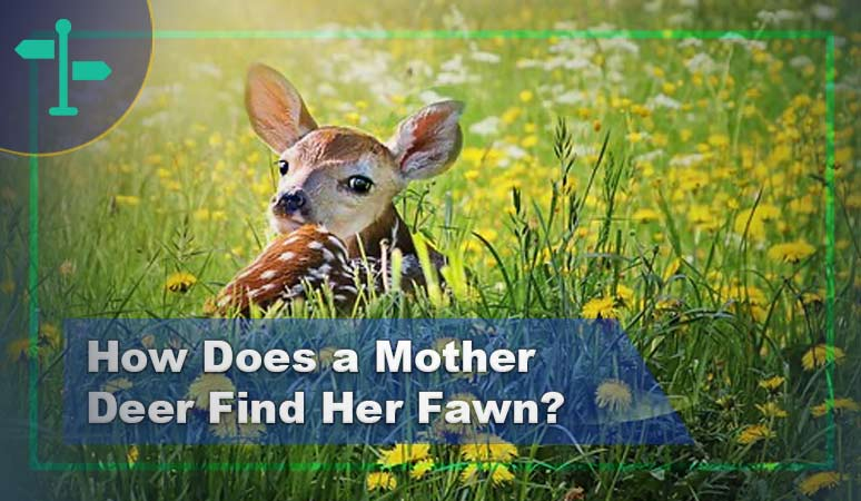 How Does a Mother Deer Find Her Fawn & Ways to Help